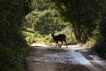 A Duiker buck crossing the road in South Africa.