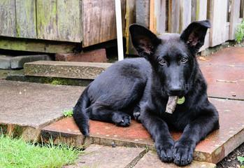 Black shepherd, puppy dog