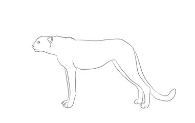 cheetah stands, drawing lines, vector
