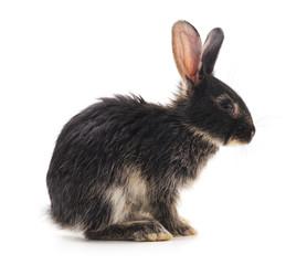 Black baby rabbit.