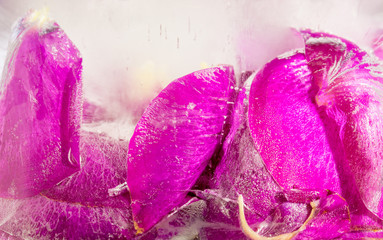 Frozen beautiful pink flower blooms in ice cube