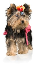 Yorkshire Terrier Dressed Up in a dog clothing