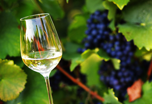 Bunch of grape on branch with glass of white wine