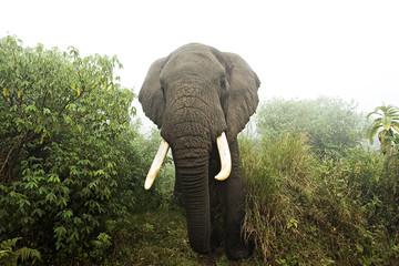 Large elephant in foggy African jungle