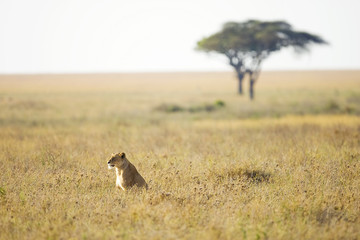 Wild lioness sitting in tall grass in East Africa