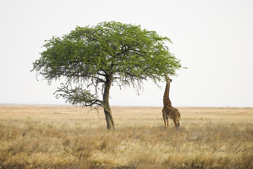 Wild giraffe reaching with long neck to eat from tall tree