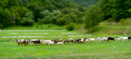 flock of goats