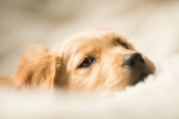 Golden retriever puppy laying down