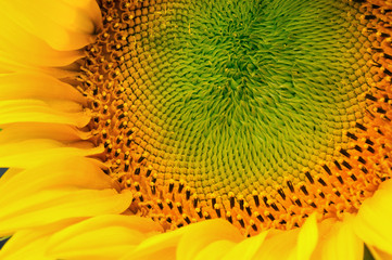 A close up view of the center of a sunflower.