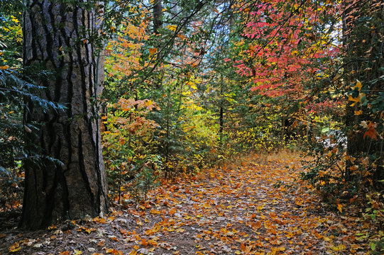 A leaf covered path leads through trees and fall foliage in Yosemite Valley National Park.
