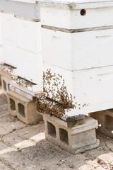 Honeybee colony on hive