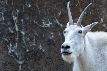 Close up head portrait of the white mountain goat.