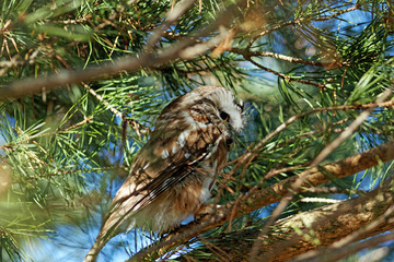 A beautiful Northern Saw-Whet Owl is perched in an evergreen tree. These tiny owls migrate south to Iowa for the winter months.