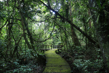 wooden path  in the middle of the rainforest