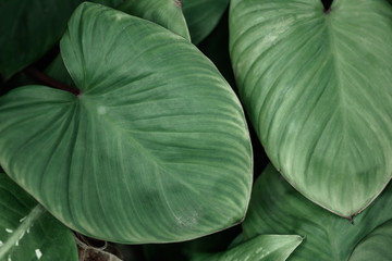 Green leaves pattern background,Closeup tropical macro of nature concept.