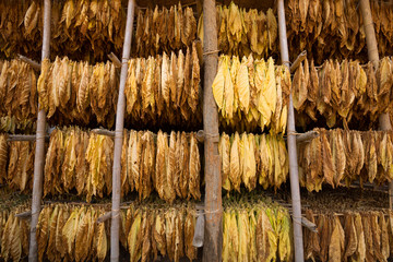 Tobacco leaves drying in the shed.