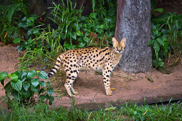 Serval wild cat  in the wild nature of the forest.