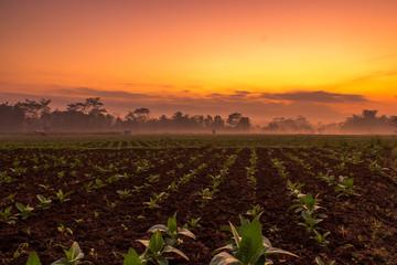 Foto op Aluminium Koraal Tobacco plantations in the foggy morning