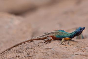 Broadleys Flat Lizard