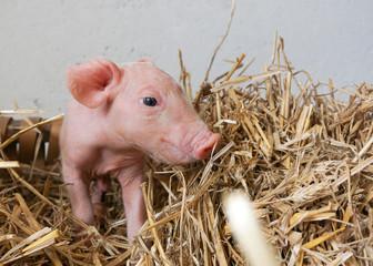 süßes kleines Ferkel sitzt im Stroh, Neugeborenes Schwein, Osternest