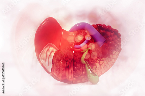 Human Liver Anatomy Cross Section Stock Photo And Royalty Free