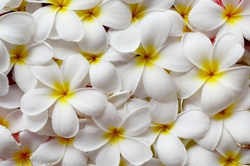 Spoed Fotobehang Frangipani Selective focus, close up white plumeria flower top view for woman spa and beauty concept product background