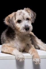 one mongrel dog puppy on a black background. studio shot
