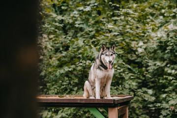 siberian husky dog sitting on obstacle on agility ground