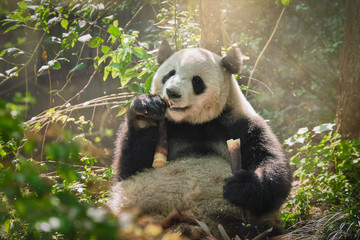 Photo sur Aluminium Panda Giant panda bear in China