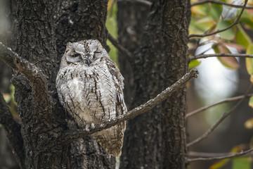 African Scops-Owl in Kruger National park, South Africa ; Specie Otus senegalensis family of Strigidae