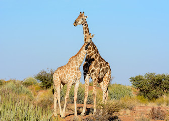 Giraffe Pair Portrait