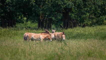 Przewalski horse Netherlands