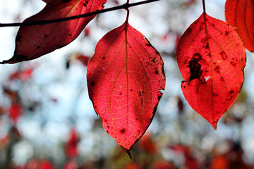Bright red autumn leaves on a tree branch in rays of sunlight. Close up
