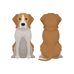 Flat vector illustration of sitting beagle dog. Small puppy with long ears and adorable muzzle. Domestic animal. Front and back view