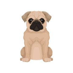 Flat vector icon of cute pug puppy. Small domestic dog with round head and short muzzle. Element for poster or banner of pet store