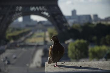 Pigeon on Eiffel Tower background