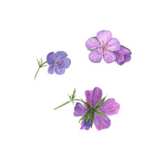 Botanical watercolor illustration of lilac geranium flowers isolated on white background. Could be used as decoration for web design, cosmetics design, package, textile