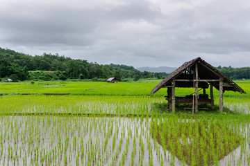 Rice Paddy in Mae Hong Son, Thailand