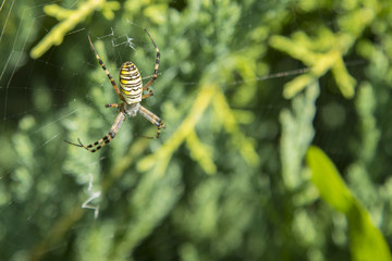 Big spider. Common black and yellow fat corn or garden spider Argiope aurantia on his web waiting for his prey close up selective focus