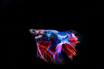 Beautiful Siamese Fighting Fish on black background