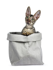 Black tabby Cornish Rex kitten sitting in grey paper bag, looking up with green eyes isolated on white background