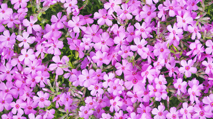 芝桜 素材