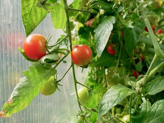 Growing small tomatoes in a greenhouse