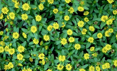 Cute small yellow flowers background