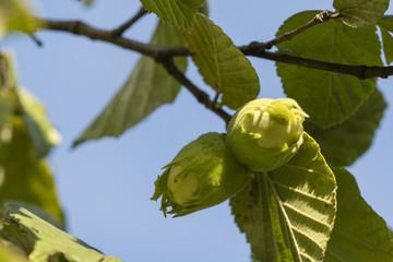 Ripe green hazelnuts on a tree.