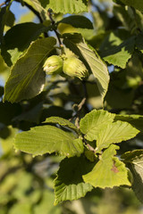 Ripe green hazelnuts on a tree.