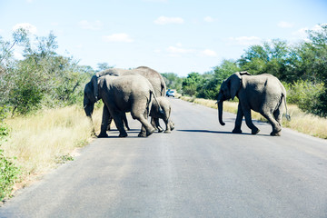 Elephants crossing the road while protecting the young, Kruger park, South Africa.