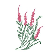 Heather or ling tender flower hand drawn on white background. Detailed drawing of flowering herbaceous plant or beautiful decorative herb. Elegant colorful vector illustration in antique style.