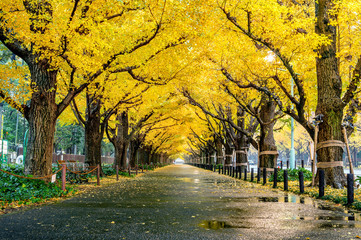 Wall Mural - Row of yellow ginkgo tree in autumn. Autumn park in Tokyo, Japan.