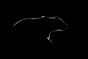 Brown bear contour in black and white. Side view of brown bear c